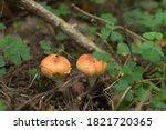 Two Orange Mushrooms With...
