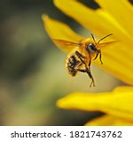 Honeybee Approaching A Flower.  ...