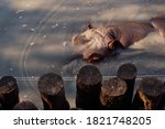 Hippo In The Water At The Zoo...