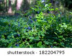 Wild Bush Of Blueberry With...