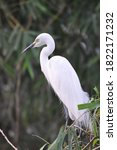 Great White Egret Bird  Ardea...