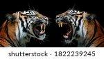 Head Of Sumatran Tiger Face To...