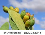 Prickly Pear Cactus With...