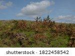 Wild Bracken  Pteridium ...