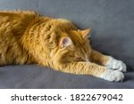 Red Cat. Beautiful Domestic Red ...