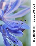 Macro Of The Blue Lily ...