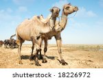 photo of two camels walking... | Shutterstock . vector #18226972