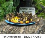 Giant Owl Butterflies  Caligo...