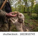Small photo of Hunting truffles, a dog just found a rare white truffle in autumn forest. Delicious food