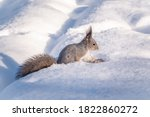 Squirrel Hides Nuts In The...