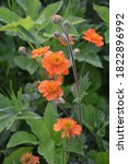 Orange Flower Of Geum Coccineum ...
