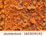 Close Up Of Orange Fruticose...