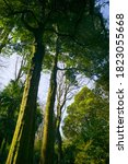 Evergreen Rain Forest Trees In...