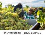 Hispanic Farm Worker Busy In...