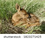 Newly Born Red Deer Cub. Russia ...