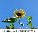 Sunflower On A Background Of A...