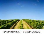 Verdant Vineyard Landscape...