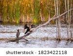 Pair Of Great Black Cormorants...