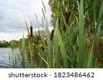 Cattail Typha Latifolia  Common ...
