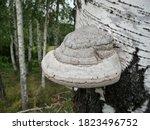 Tinder Fungus  Fomes...