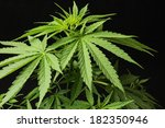 young green leaf cannabis... | Shutterstock . vector #182350946