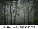 Green Forest In Fog  Oak Trees...