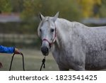 Portrait Of A White Horse In A...