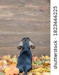 Dachshund Puppy Sits In Back...