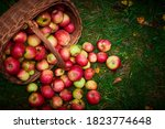 Apple Harvest Background ...