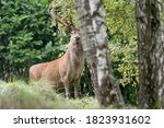The Majestic Red Deer Male In...