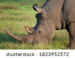 White Rhino With A Large Horn...