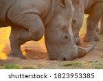 2 White Rhino Seen At Sunset On ...