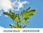 Green Fig Tree Leaves In Bright ...