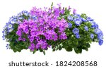 Campanula. Cut Out Blue And...