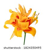 Orange Daylily  Orange Flower...