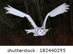 Stock photo a snowy owl bubo scandiacus flying right at the camera 182440295