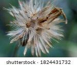 Bidens pilosa (also called ketul kebo, ketul sapi, jaringan, caringan, lanci thuwa, lancing thuwa, cing-lancingan, Spanish Needle, Blackjacks, Beggar ticks) with a natural background
