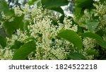 Knotweed Bloom Invasive Plant...