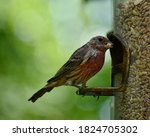 Juvenile Male Housefinch Eating ...