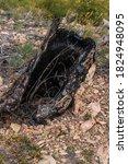 Dry Black Stump Of Tree With...
