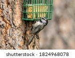 A Mountain Chickadee Clings To...