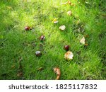 Conkers Fallen From A Tree In...