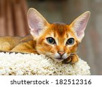Young Abyssinian Cat Lying At...