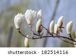 Spring Flowers Series  Magnoli...