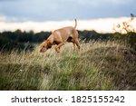 Vizla Dog Walking On A Meadow ...