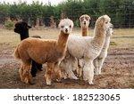 Herd Of Alpacas