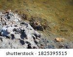 Northern Leopard Frog ...