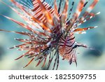 Closeup red lionfish in red sea ...