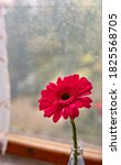Pink Gerber Daisies With Window ...