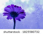 Violet And  Blue Gerber Daisy...